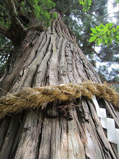 一宮神社ご神木の杉