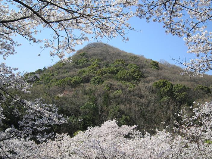 たつの公園の桜