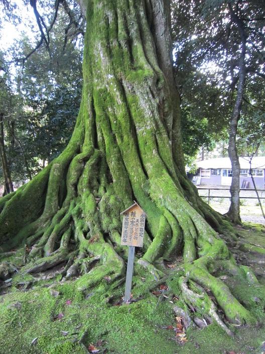 神宮寺椎の木