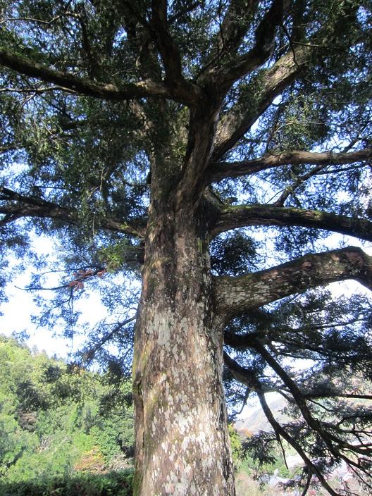 明通寺かやの大木
