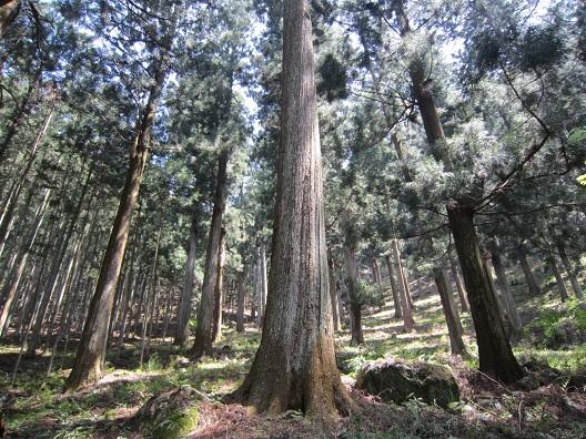吉野杉の森