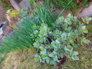 地植えにした金の成る木・ブルーバード~こちらも凍結被害なく短日効果で花芽ができ始めています♪2014.12.07