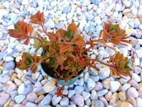 鉢植えのプレクトランサス・ ネオチラス(Plectranthus neochilus)~防寒なしで寒さに当たり水切れ・肥料切れで赤く紅葉しています♪2014.12.14