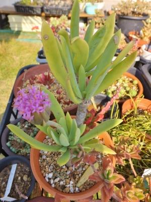 セネシオ・センペルビブス(Senecio sempervivus)塊根性セネシオ~薄紫色の淡いお花が咲きました♪2014.11.23
