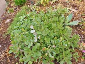 地植えのプレクトランサス・ネオチラス(Plectranthus neochilus)和名:藤壺(フジツボ)? まだまだ緑で軽霜にも負けず茂っています♪2014.12.14