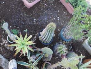 吹きっ曝しな庭の角に多肉を地植えにしたり鉢を置いたりしています・・・霜柱が・・・2014.12.06
