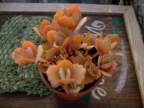 カランコエ ミロッティー寒さでエメラルドグリーンがオレンジ色になりました♪2013.11.30