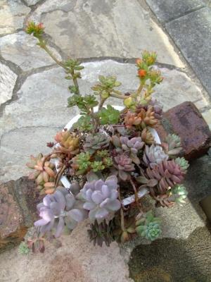 多肉寄せ植えの中の小型の■エケベリア グスト~オレンジ花を咲かせ木立ちしています♪2013.12.09
