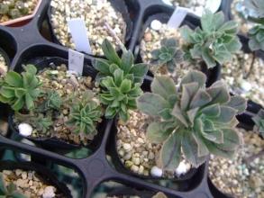 アエオニウムの実生苗(2012年秋発芽)左側~一部面白いのができています♪ウェ~ブ?2013.12.09
