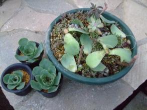 グリーノビア オーレア 玉姫椿(たまひめつばき)(Greenovia aurea) 胴切りした子芽がいくつも出てきました(^-^)育てた~い!2013.12.07
