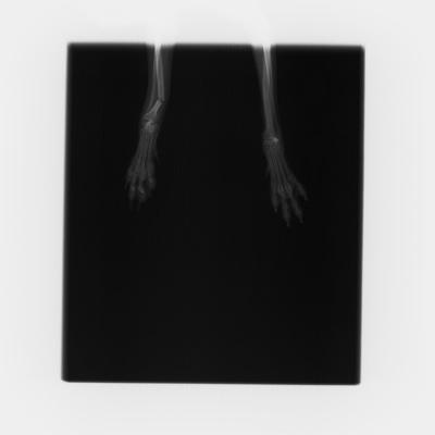 橈尺骨(前足の骨)の骨折  手術前
