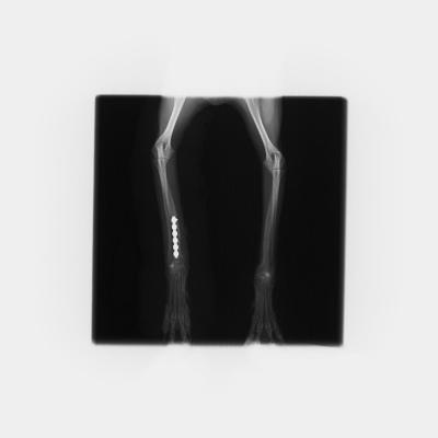 橈尺骨(前足の骨)の骨折  手術後
